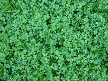 Clover and grass Stock Photography