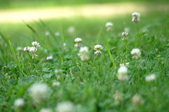 Clover and Grass in A Field Stock Photos