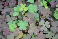 Clover. Grass in the garden Royalty Free Stock Photo