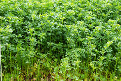Clover grass growing Stock Photos