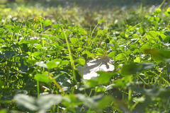 Clover grass outdoors Stock Image