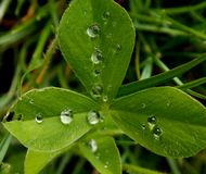 Clover. In the grass with rain drops on it Stock Photo