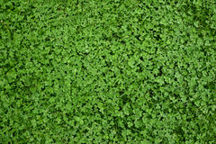 Clover grass texture Stock Photography
