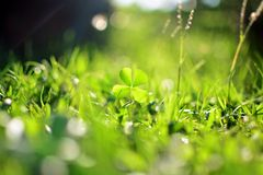 Clover in the grassy ground Royalty Free Stock Photos