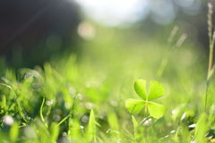 Clover in grassy yard Stock Photography