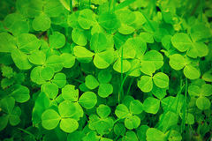 Clover. Green clover close-up, macro royalty free stock photography