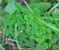 Clover. Green fresh Clover on a sunny day, nature background royalty free stock photography