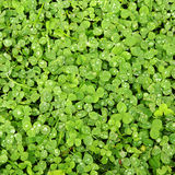 Clover green grass Royalty Free Stock Photo