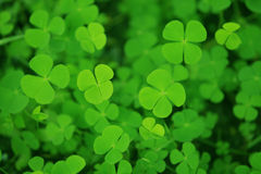 Clover. Green clover leaf on the ground Stock Photo