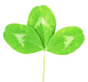 Clover green leaf Royalty Free Stock Photos