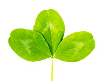 Clover green leaf Stock Photography