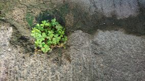 Clover grow up on concrete royalty free stock photography
