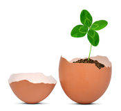 Clover growing out of the egg Royalty Free Stock Photos