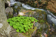 Clover grows at the base of a tree, on the bank of a mountain stream. Carpathians, Ukraine Stock Photo