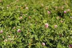 Clover grows in the field. Close-up stock photography