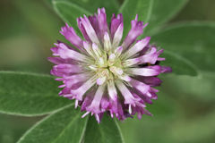 Clover head, view from above Royalty Free Stock Photography