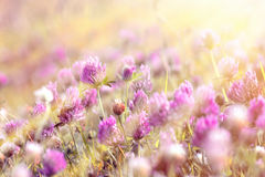 Clover illuminated by sunbeams Stock Photography