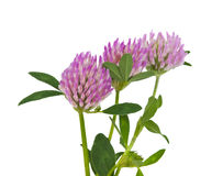 Clover isolated Royalty Free Stock Photos