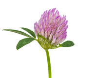 Clover isolated Stock Image