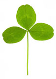 Clover on isolated Stock Images