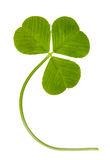 Clover on isolated Royalty Free Stock Image