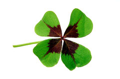 Clover isolated on white Stock Photo