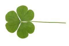 Clover. Isolated on white background stock photography