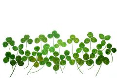 A clover isolated on white background. Top view. A clover isolated on white background stock photos