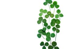 A clover isolated on white background. Top view. A clover isolated on white background stock photography