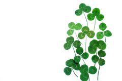 A clover isolated on white background. Top view. A clover isolated on white background royalty free stock image