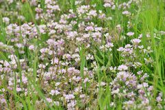 Clover lawn Royalty Free Stock Image