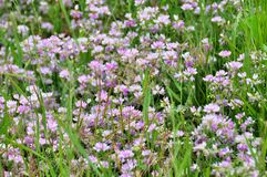 Clover lawn. Beautiful clover growing on a large meadow stock image
