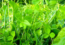 Clover lawn. Bright green thick Clover lawn Stock Photography