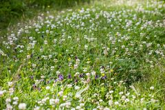 Clover lawn stock photography
