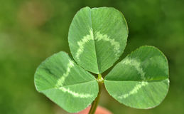 Clover leaf. Three leaflet clover leaf closeup picture stock photo