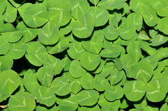 Clover leaf. Background for plant lovers Royalty Free Stock Photography