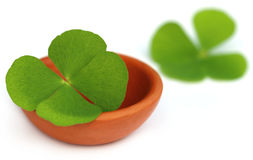 Clover leaf in a clay pottery Royalty Free Stock Photography
