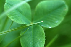 Clover leaf. Closeup of clover (shamrock) leaf Royalty Free Stock Photos