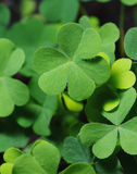 Clover leaf in the flowerpot closeup shot Stock Photography