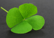 Clover leaf on gray surface Stock Images