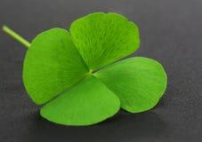 Clover leaf on gray surface. Four Leaf Clover leaf on gray surface stock images