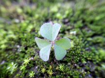 A Clover leaf above moss royalty free stock image