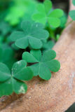 Clover leaf. Green clover leaves sign of luck stock photo