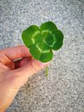 Clover leaf in the hand stock images