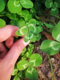 Clover leaf in the hand royalty free stock image