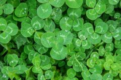Clover leaf. Happy St. Patrick`s Day. royalty free stock image