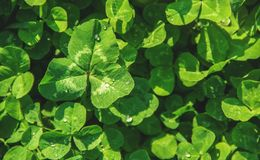 Clover leaf. Happy St. Patrick`s Day. stock photos