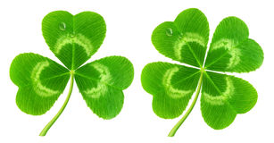 Free Clover Leaf Isolated On White Stock Photo - 37642890