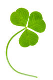 Clover leaf isolated. On white Royalty Free Stock Photography