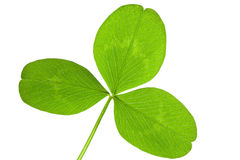 Clover leaf isolated Stock Photo